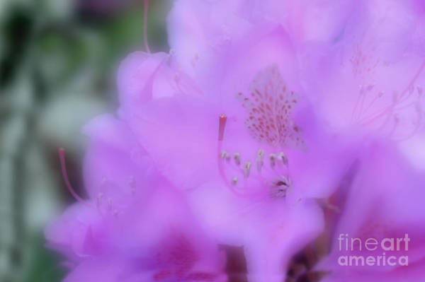 Photograph - Close Up Of Rhododendron Flower by Dan Friend
