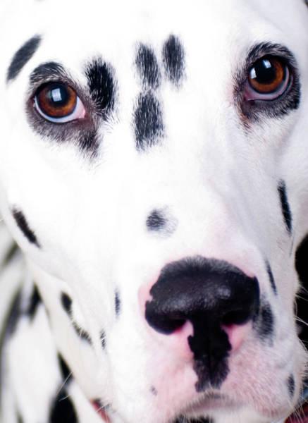 Dalmatian Dog Photograph - Close Up Of Sad Looking Dalmatian by Alphotographic