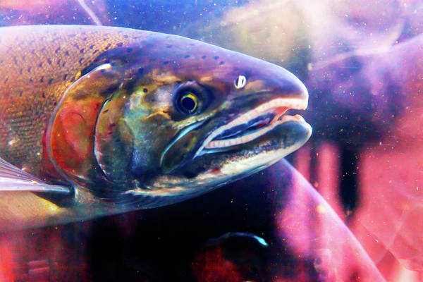 Fish Tank Photograph - Close-up Of Salmon Head, Issaquah by William Perry