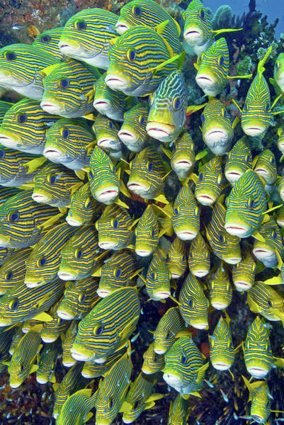 Schooling Wall Art - Photograph - Close-up Of Schooling Sweetlip Fish by Jaynes Gallery