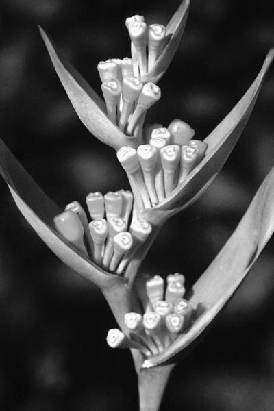 Wall Art - Photograph - Close-up Of Seeding Heliconia _black And White Photograph_ by Allan Seiden