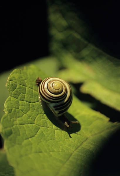 Gastropod Wall Art - Photograph - Close Up Of Snail by Chris Dawe/science Photo Library