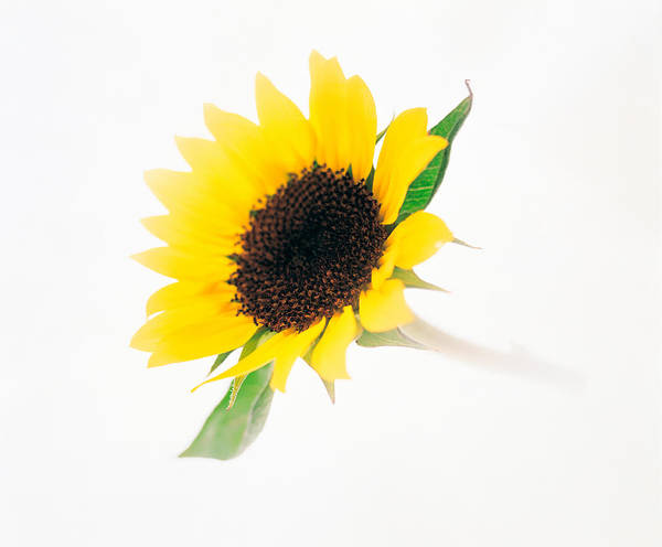 Sunflower Seeds Photograph - Close Up Of Sunflower by Panoramic Images