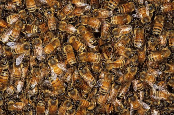 Wall Art - Photograph - Close Up Of Swarm Of Honey Bees by Simon D. Pollard
