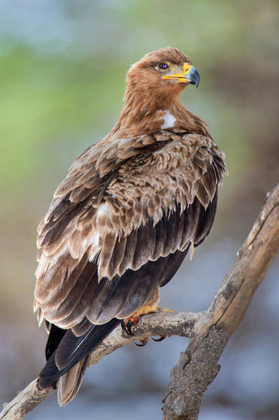 Tarangire Photograph - Close-up Of Tawny Eagle Aquila Rapax by Panoramic Images