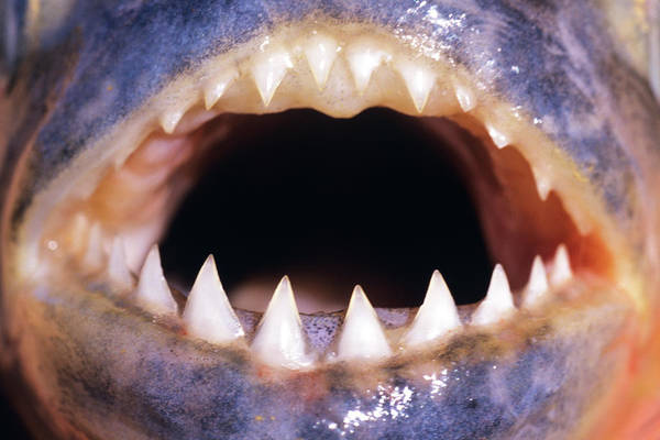 Big Basin Photograph - Close Up Of Teeth Of Yellow Piranha by Animal Images
