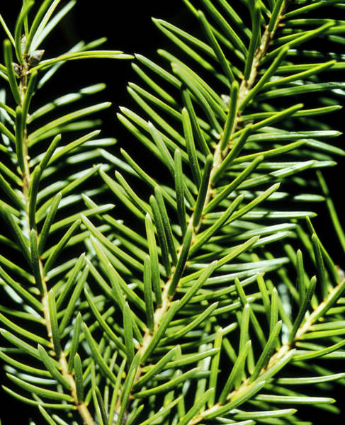 Spruce Photograph - Close-up Of The Leaves Of The Spruce Tree by Alfred Pasieka/science Photo Library