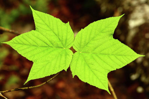 Wall Art - Photograph - Close Up Of The Paired Leaves by Darlyne A. Murawski