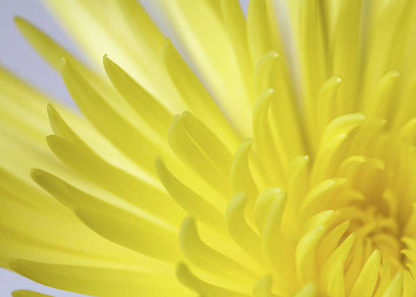 Wall Art - Photograph - Close Up Of The Petals Of A Yellow by Vickie Lewis