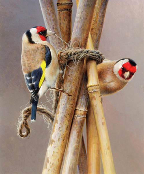 Wall Art - Photograph - Close Up Of Two Goldfinches Pecking by Ikon Ikon Images