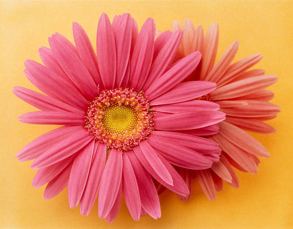 Zinnia Wall Art - Photograph - Close Up Of Two Pink Zinnias On Yellow by Panoramic Images