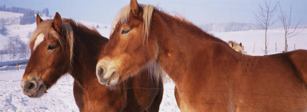 Wall Art - Photograph - Close-up Of Two Ponies, Iceland by Animal Images