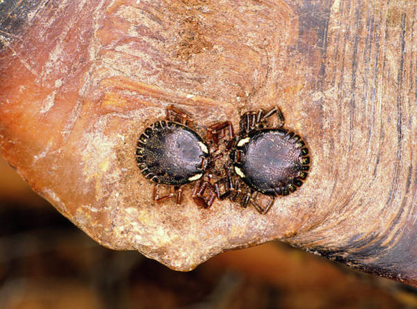 Tortoise Shell Photograph - Close-up Of Two Ticks On Tortoise Shell by Dr Morley Read/science Photo Library