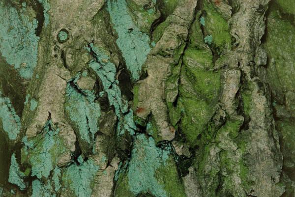 Walnut Photograph - Close-up Of Walnut Bark (juglans Regia) by Pascal Goetgheluck/science Photo Library