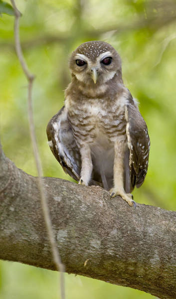 Wall Art - Photograph - Close-up Of White-browed Hawk Owl Ninox by Panoramic Images