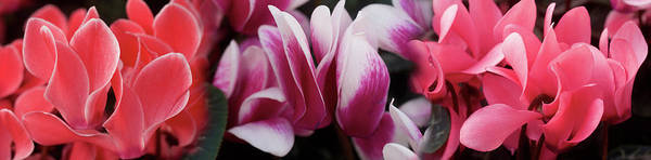 Wall Art - Photograph - Close-up Of Winter Cyclamen Flowers by Panoramic Images