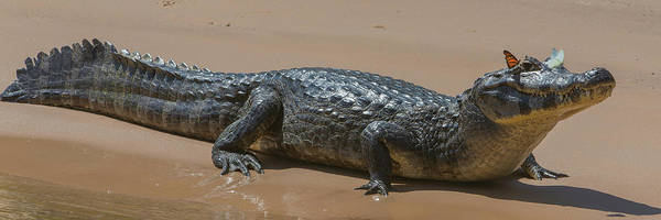 Snout Butterfly Photograph - Close-up Of Yacare Caimans Caiman by Panoramic Images