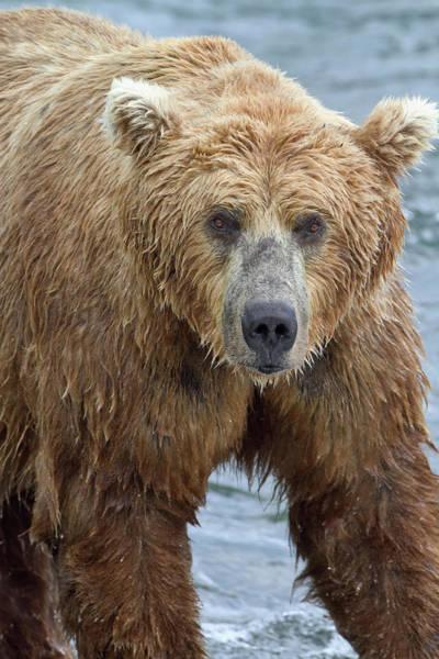 Wall Art - Photograph - Close Up Portrait Of A Brown Bear by Gary Schultz
