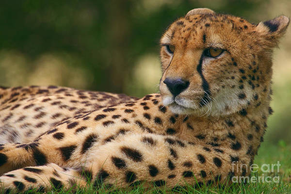 Photograph - Close-up Portrait Of A Cheetah by Nick  Biemans