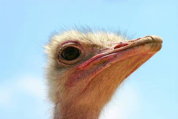Ostrich Photograph - Close Up Portrait Of A Head Of An Ostrich by Photostock-israel/science Photo Library