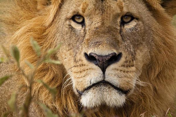 Close-up Portrait Of A Majestic Lion's Solemn Face Art Print by WLDavies