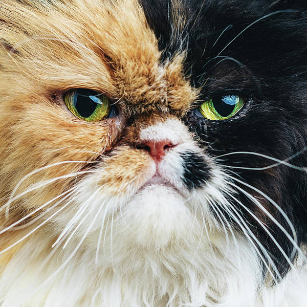 Long Hair Cat Photograph - Close Up Portrait Of A Persian Cat by Sensorspot