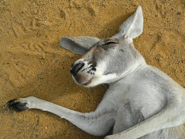 Back In The Day Photograph - Close Up Portrait Of A Sleeping Kangaroo by Sir Francis Canker Photography