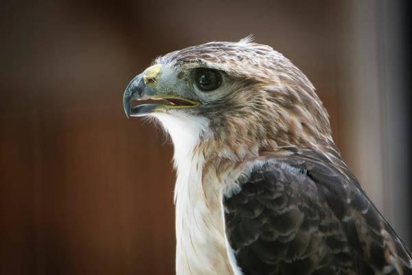 Boyd Photograph - Close-up Portrait Of Hawk With Beak by Sheila Haddad