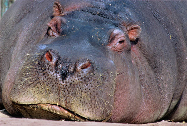 Hippopotamus Amphibius Wall Art - Photograph - Close-up Portrait Of Hippopotamus by Animal Images