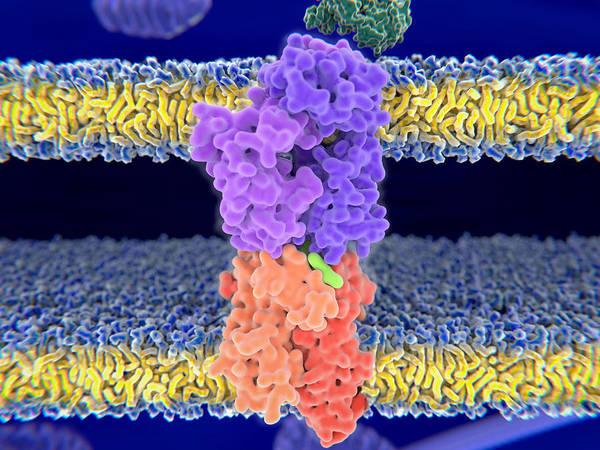 Wall Art - Photograph - Close Up View Of A T-cell Receptor by Juan Gaertner