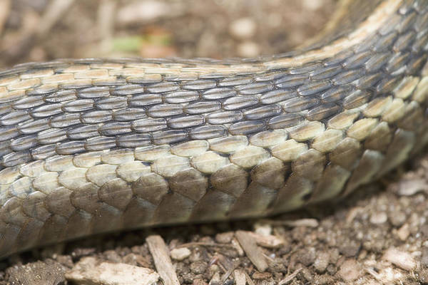 Garter Photograph - Close Up View Of Eastern Garter Snake by Science Stock Photography/science Photo Library
