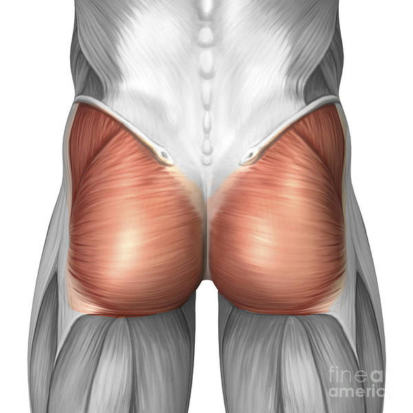 Muscle Tissue Digital Art - Close-up View Of Human Gluteal Muscles by Stocktrek Images