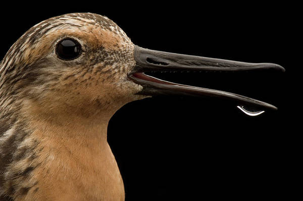 Gandy Wall Art - Photograph - Close View Of A Red Knot Sandpiper by Joel Sartore