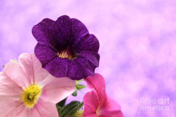 Petunias Photograph - Closeness by Krissy Katsimbras