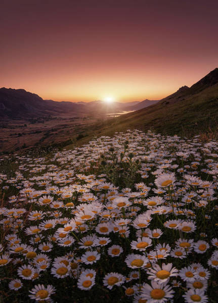 Daisy Flower Photograph - Closer To The Sun by Sergio Abevilla