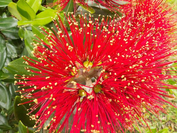 Pohutukawa Photograph - Closeup Blossoms Of Nz Christmas Tree Pohutukawa by Stephan Pietzko