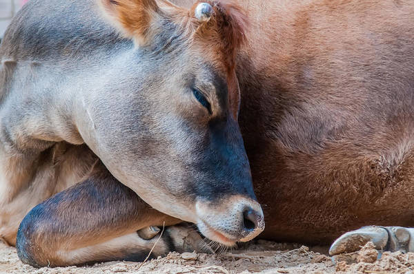 Photograph - Closeup Of A Sleeping Cow At Rest by Alex Grichenko