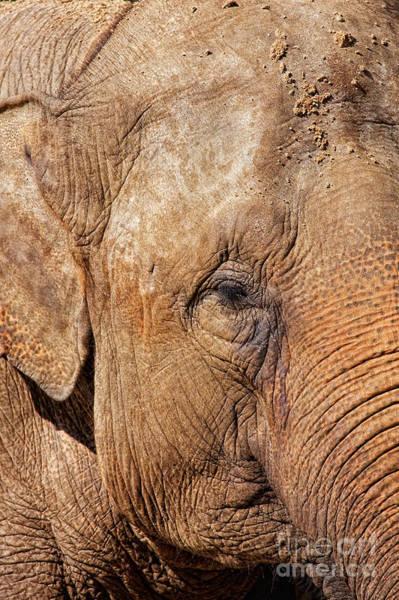 Photograph - Closeup Of An Elephant by Nick  Biemans