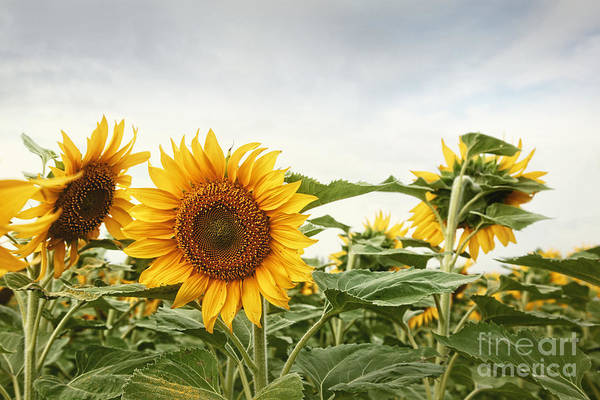 Photograph - Closeup Of Sunflower Field by Sandra Cunningham