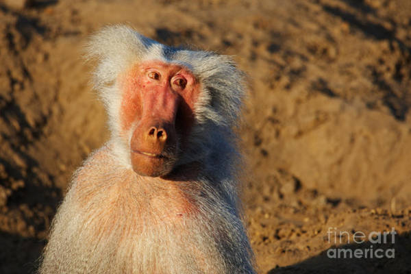 Photograph - Closeup Portrait Of A Baboon by Nick  Biemans