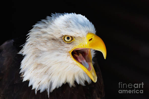 Closeup Portrait Of A Screaming American Bald Eagle Art Print