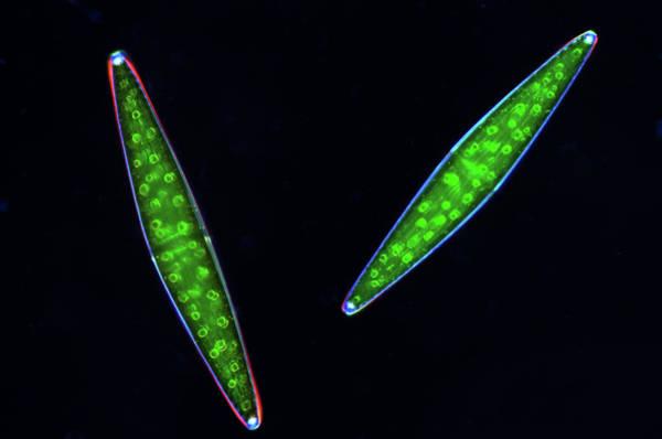 Aquatic Plants Photograph - Closterium Desmids by Marek Mis
