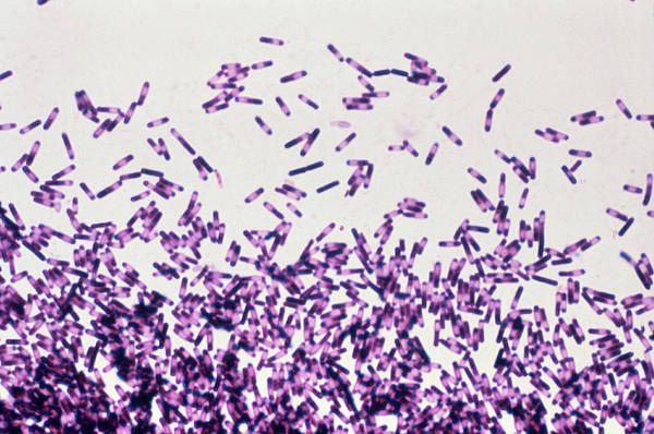 Wall Art - Photograph - Clostridium Difficile Bacteria by Cdc/science Photo Library