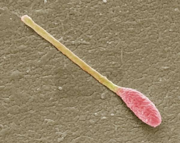 Bacilli Wall Art - Photograph - Clostridium Phytofermentans by Steve Gschmeissner