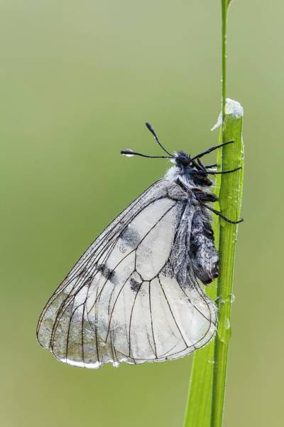 Imago Photograph - Clouded Apollo Butterfly by Heath Mcdonald