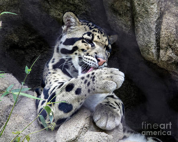 Houston Zoo Photograph - Clouded Leopard by TN Fairey