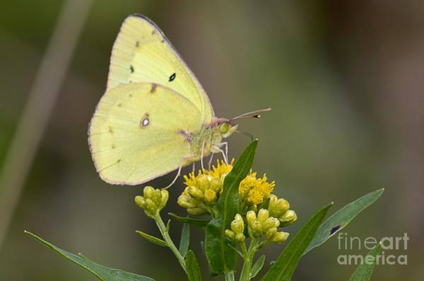 Photograph - Clouded Sulphur by Randy Bodkins