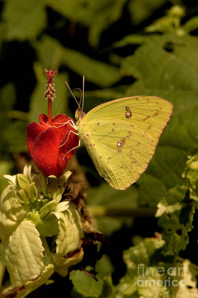 Sulfur Butterfly Wall Art - Photograph - Cloudless Sulfur Butterfly by Gregory G. Dimijian, M.D.