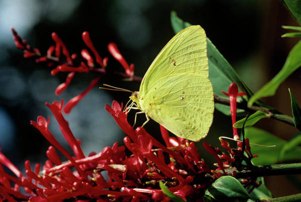 Sulfur Butterfly Wall Art - Photograph - Cloudless Sulphur Butterfly by Sally Mccrae Kuyper/science Photo Library