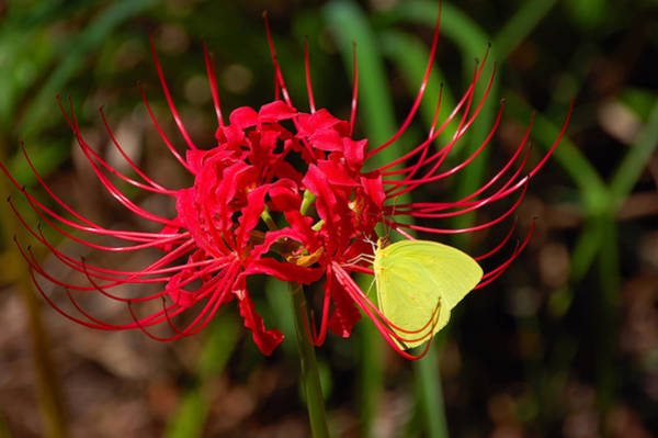 Hurricane Lily Photograph - Cloudless Sulphur by Rich Leighton